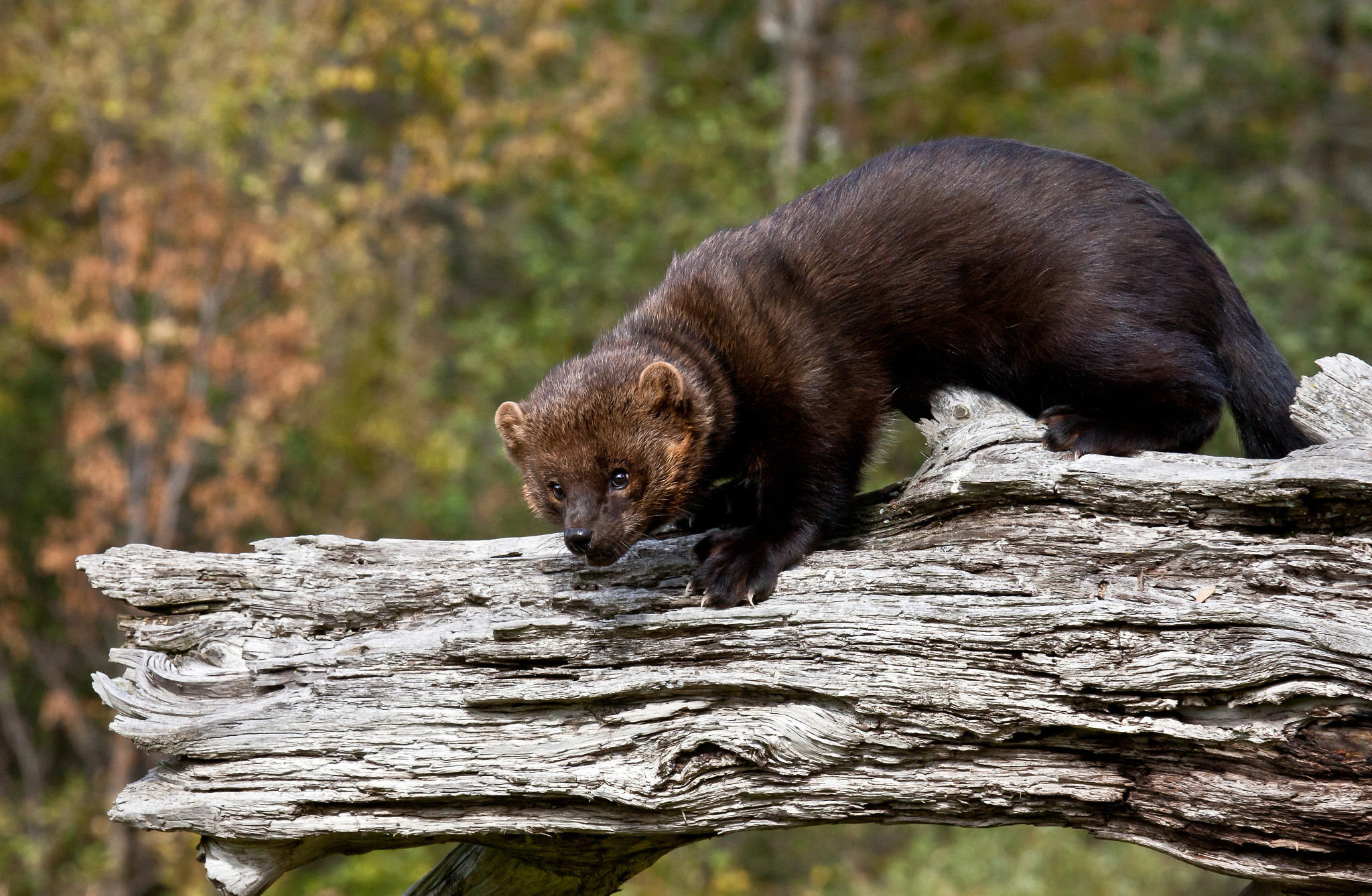 fisher (mammal) standing on a log