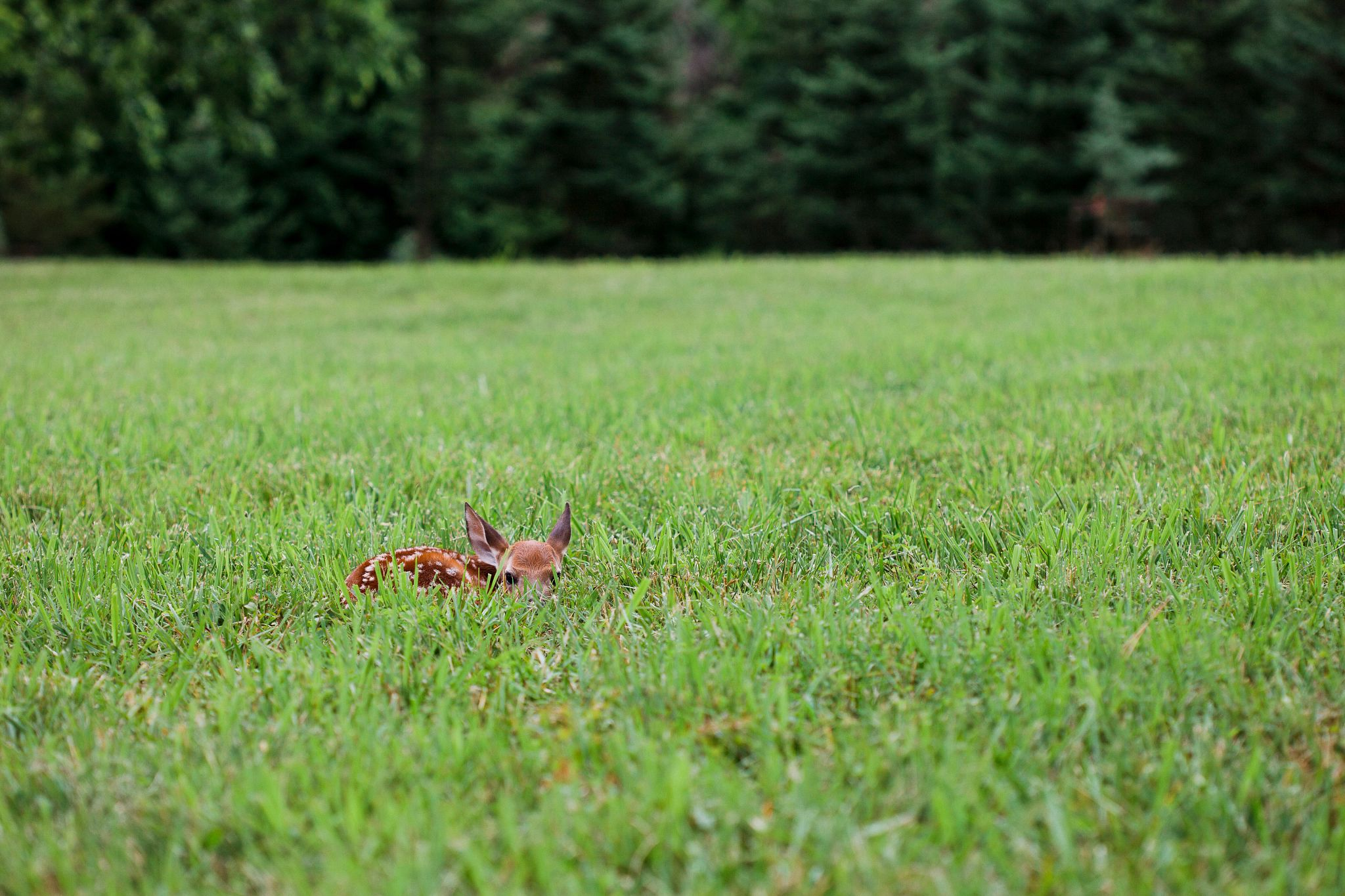 An image of a fawn resting in a field of grass.