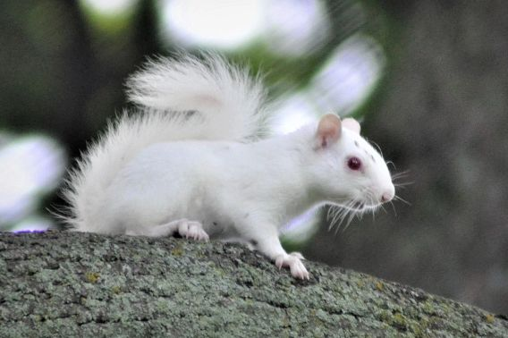 albino squirrel in tree