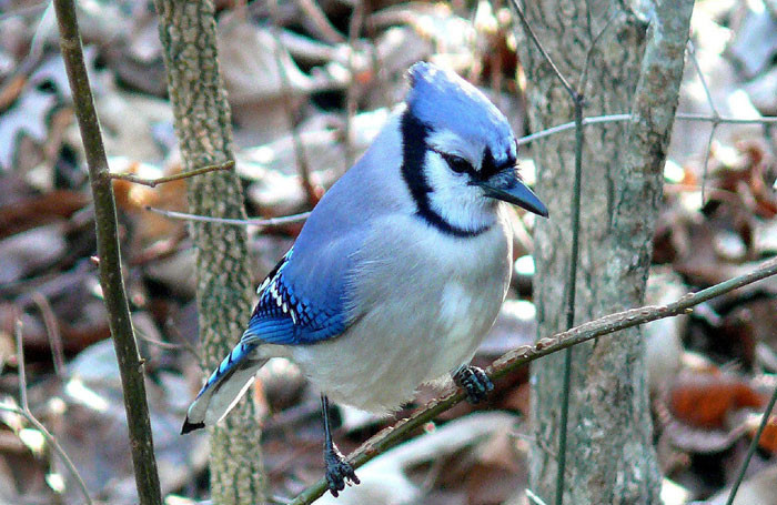 healthy blue jay perched on a branch